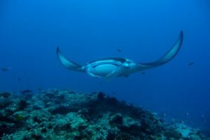 Milaidhoo Maldives underwater manta rays (4)_preview